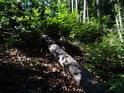 Nedávno padlý smrk dal společně s dalšími padlými v lese proniknout slunečnímu svitu na zem.