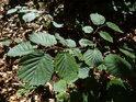 Mladé bukové listy na slunečním svitu.