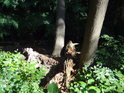 Starý pahýl mezi zdravým a vyvráceným stromem.
