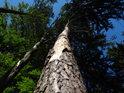Větrem ohýbaná borovice mezi buky.