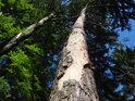 Napadený kmen borovice.