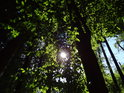 Slunce za bukovými listy.