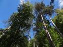 Sluncem osvětlené poněkud odkryté borovice.