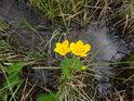Blatouch je naší obvyklou mokřadní rostlinou, kvetoucí nádhernou žlutou barvou.