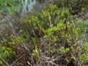 Na hrázi rybníka Návesník roste v menším množství také borůvčí.