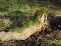 Někde útočí na padlé stromy houby, někde zas tráva.