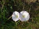 Svlačcový květ na Netopýrkách.