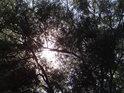 Chomáč jmelí na vrbové větvi.