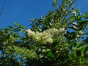 Bezový květ kvetoucí i odkvetlý coby šípkové předpolí.