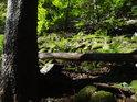Kapradí v lesním suťovém poli.
