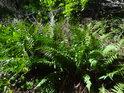Okouzlující kapradiny na okraji lesního suťového pole.