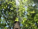 Pronikající sluneční paprsek osvětluje dub.