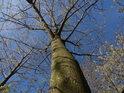 Jasan jistě nepatří mezi nejrychleji se zelenající stromy, z tohoto však již čiší rozvíjející se život.