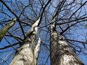 Neživý pahýl je dobře poznat mezi živými stromy, ač jim stále schází listí.
