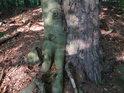 Soužití větší borovice a menšího buku se podobá spíše boji na život a na smrt.
