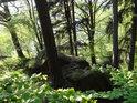 Poměrně stabilně zachycené borovice a buky zpevňují prudké skalní srázy z Ohebu k Sečské přehradě.