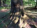 Kořen mohutného téměř uschlého buku.