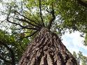 Pohled do koruny dubu se zatím ještě dost zeleným listím.