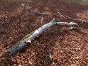 Usychající kaštanová větev.