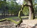 Mechem obrostlá a k zemi se klonící dubová větev.