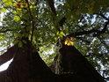 Pohled do koruny prakovitého dubu, který již začal podzimní výměnou barev.