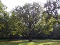 Když má dub kolem sebe místo, je to na jeho koruně znát.