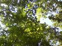 Dubové listí Sluncem zalité.