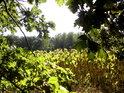 Pohled z hezkého lesa n monokulturu dozrávajících slunečnic.