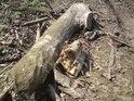 Kus topolové větve je sám o sobě ohromný. Jaký asi musel být vlastní kmen?.