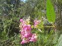 Detail květu netýkavky žláznaté.