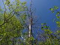 Olše se na jaře zelenají dříve, než topoly, však proti blankytně modrému nebi působí celek barevně uklidňujícím dojmem.