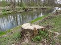 Pařez na pravém břehu řeky Moravy po motorové pile.