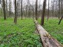 Podrost v Panenském lese se již začal zelenat.