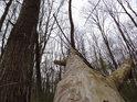 Vývrat v Panenském lese.