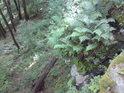 Kapradí se drží i na prudkých skalách.