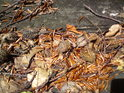 Loňské bukvice jsou pro divoká prasata na skalách nedostupné.