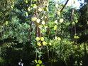 Popínavé rostliny s jehličnatým pozadím.