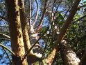 Pohled do koruny borovice napovídá, že tu příliš často očistná pila dřevorubce nezasahuje.