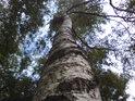 Vlhkomilné stromy mívají mizerné dřevo.