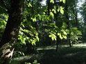 Sluncem osvětlené javorové listy v nitru lesa Pekárna.