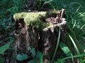 Mechem obrostlý dubový pařez.