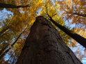 Třímetrový pahýl buku v podzimních barvách.