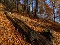 Tlející bukový kmen ve svahu plném podzimního listí.