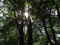 Slunce prosvítá mezi bukovými listy v Pelinách.