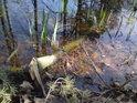 Větev leží v mělké části rybníka teprve krátce.