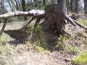 Pařez u rybníka Pětinoha  pohledem z výšky očí jezevčíka.
