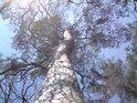 Ne nadarmo se říká: Křivého dříví je v lese nejvíce.