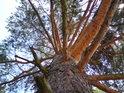 Nádherné, ba až oslňující barvy borovice.