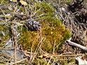 Zátiší mechu v suchém prostředí a borové šišky.