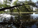 Dlouhá vrbová větev nad Písečným rybníkem.